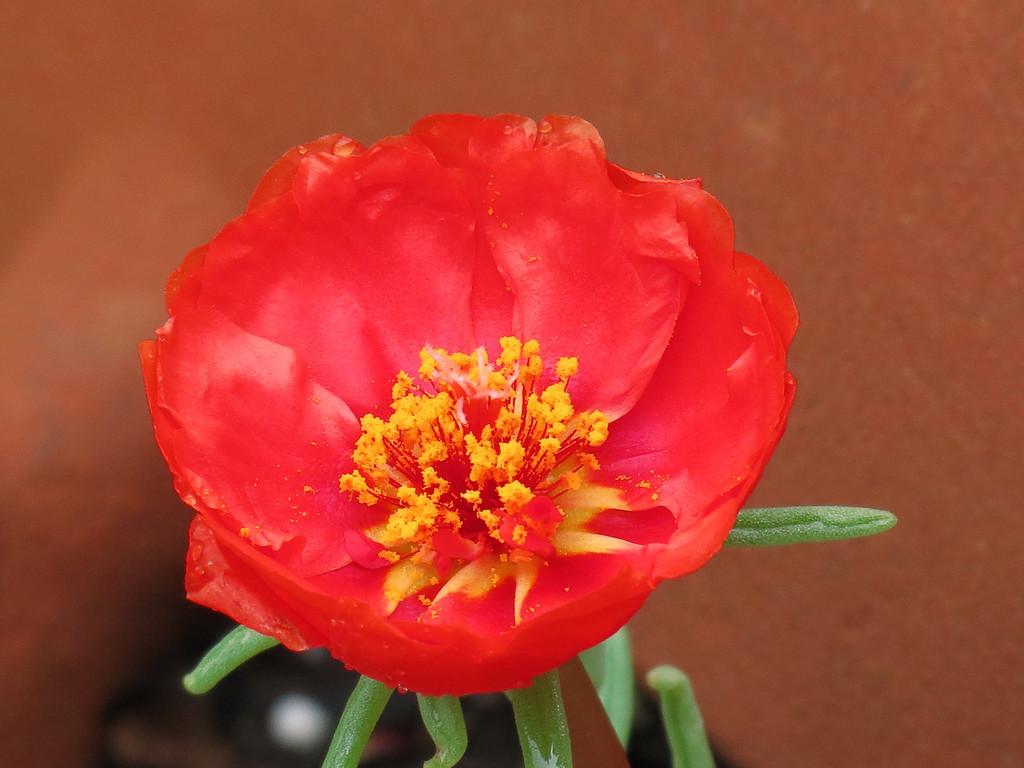 Moss Rose in the terra cotta strawberry pot.