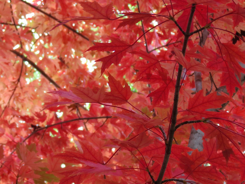 Red Maple tree in the backyard.