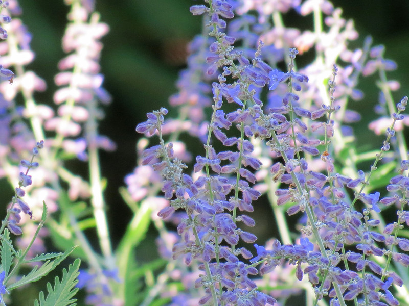 Russian Sage in late day sunlight.