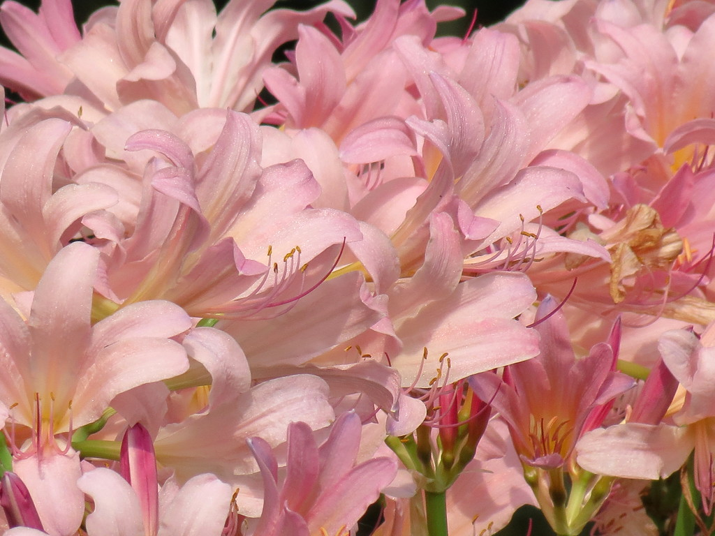 """I am going to rename these """"The Pink Flamingo Lilies""""."""
