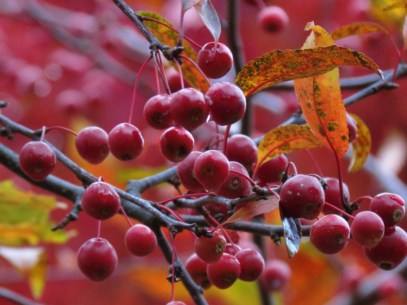 Crab Apples on October 31 after Three Days of Rain.