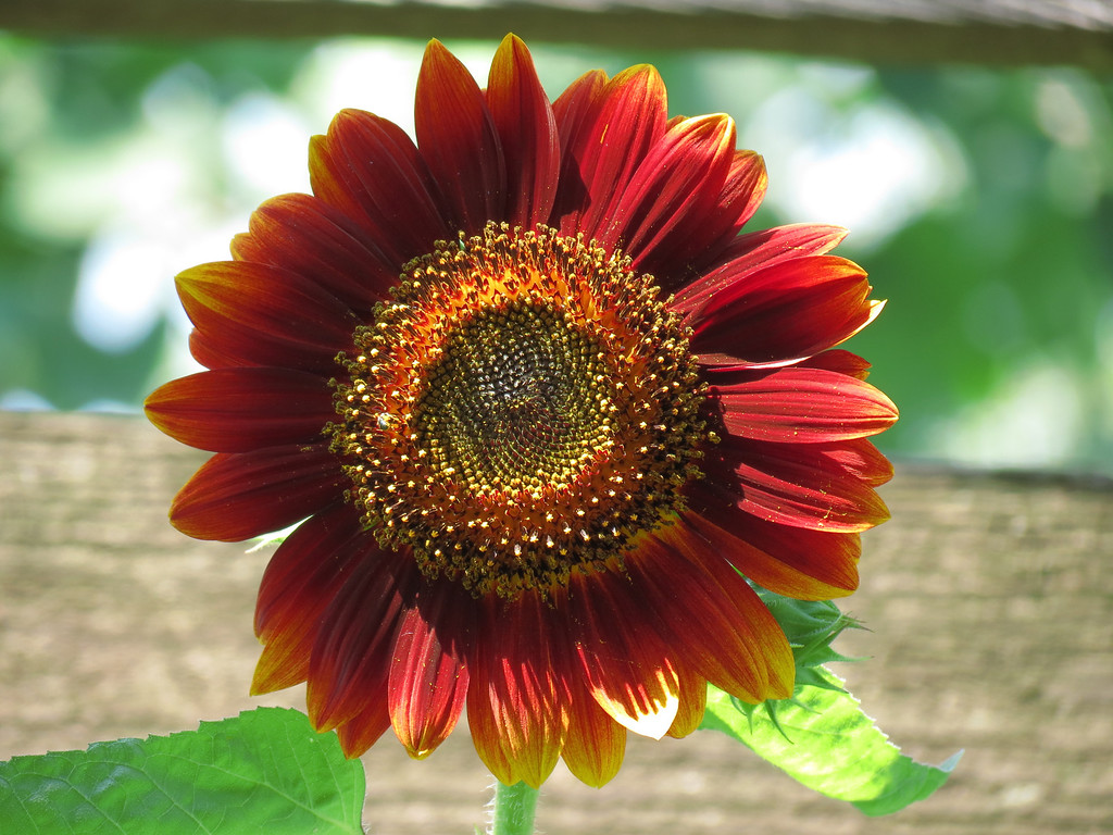 A very tall dark red Sunflower.
