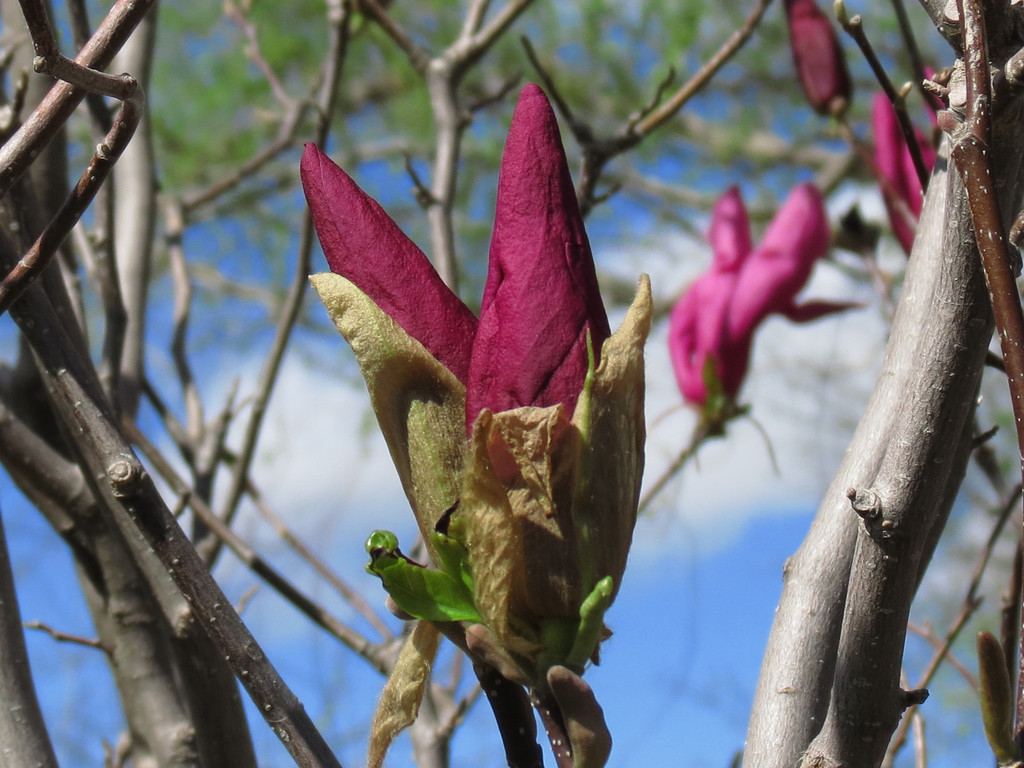 The Red Magnolia buds that haven't opened yet.