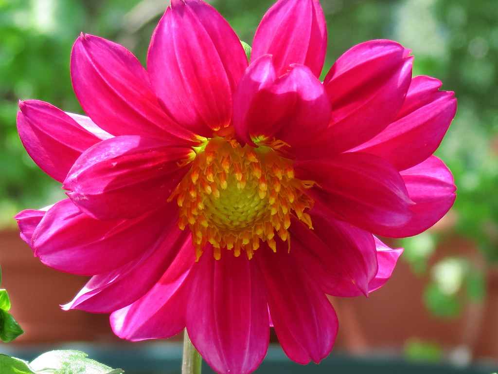 The Dahlia that Becky grew from seed bloomed today.