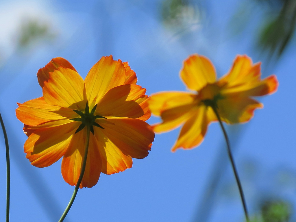 Cosmos and Blue Sky.