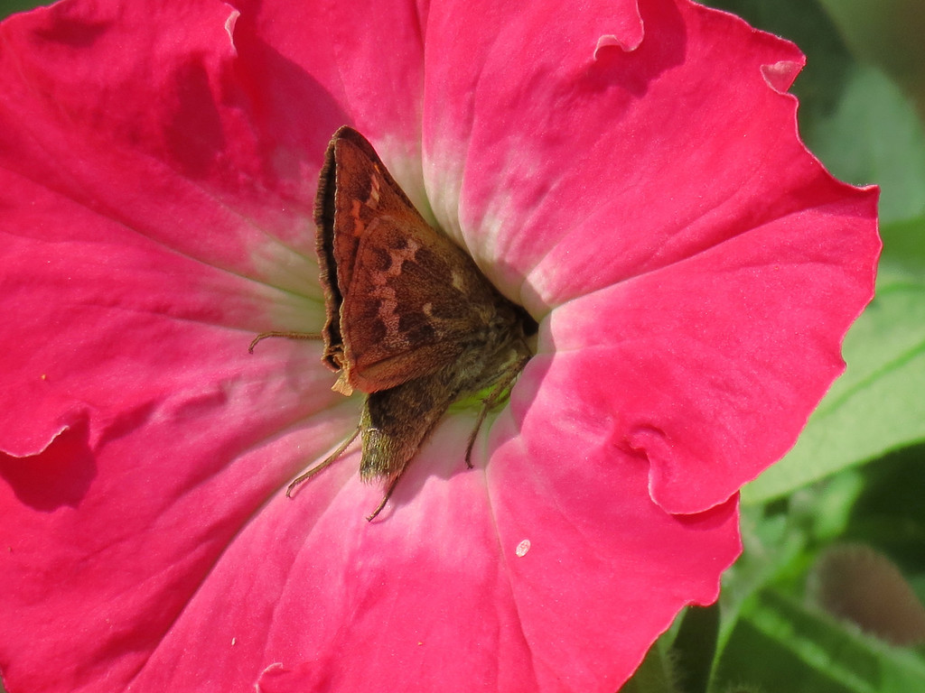 Skipper Butterfly inside the Pink Petunia.