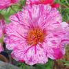 Peppermint Moss Rose