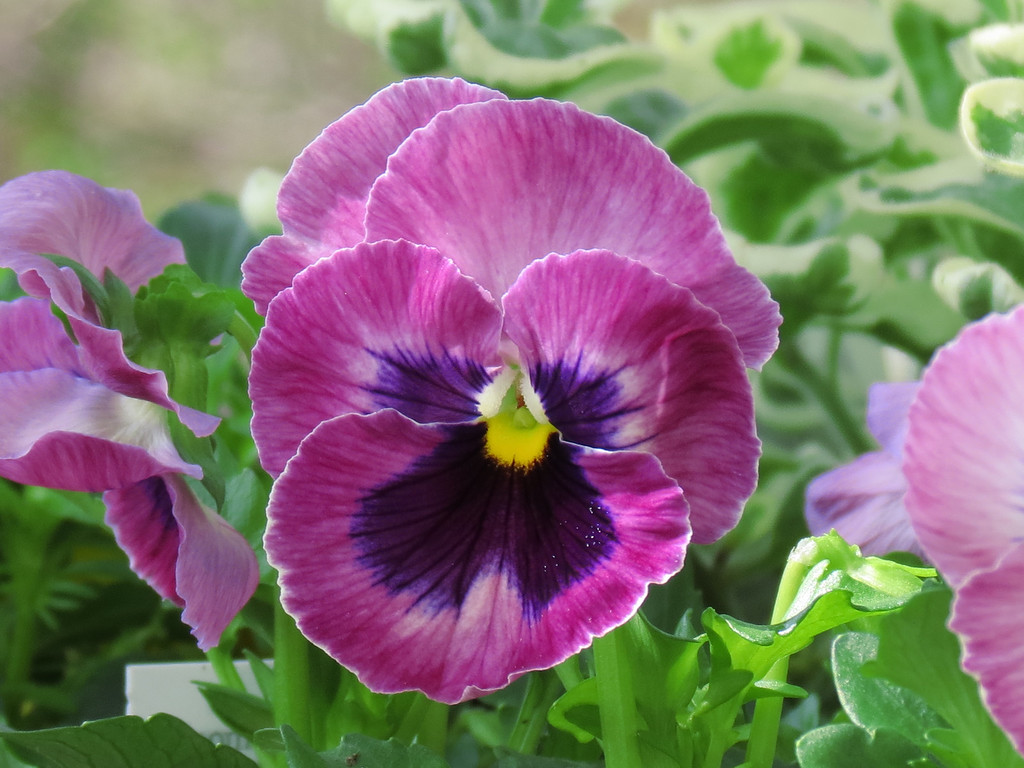 Pansy in cool Spring.
