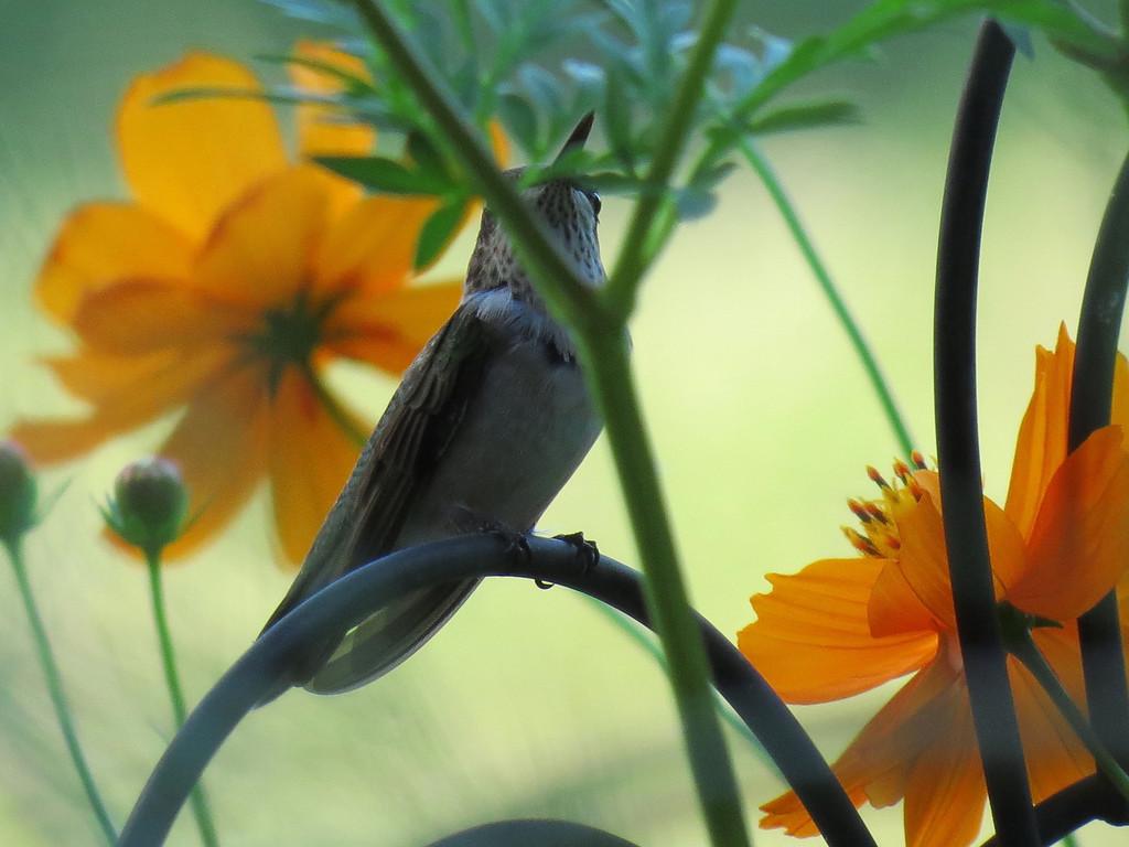 Cosmos and a Hummingbird