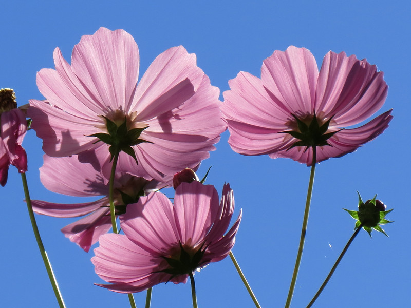 The Very Extremely Tall Pink Cosmos.<br /> <br /> This Cosmos plant is probably eight feet tall.