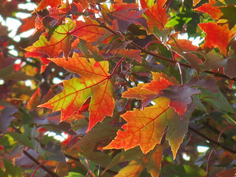Red Maple Leaves on October 20th.