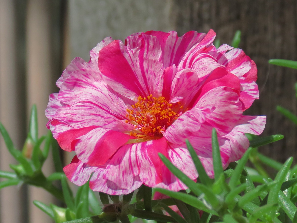 Peppermint Moss Rose