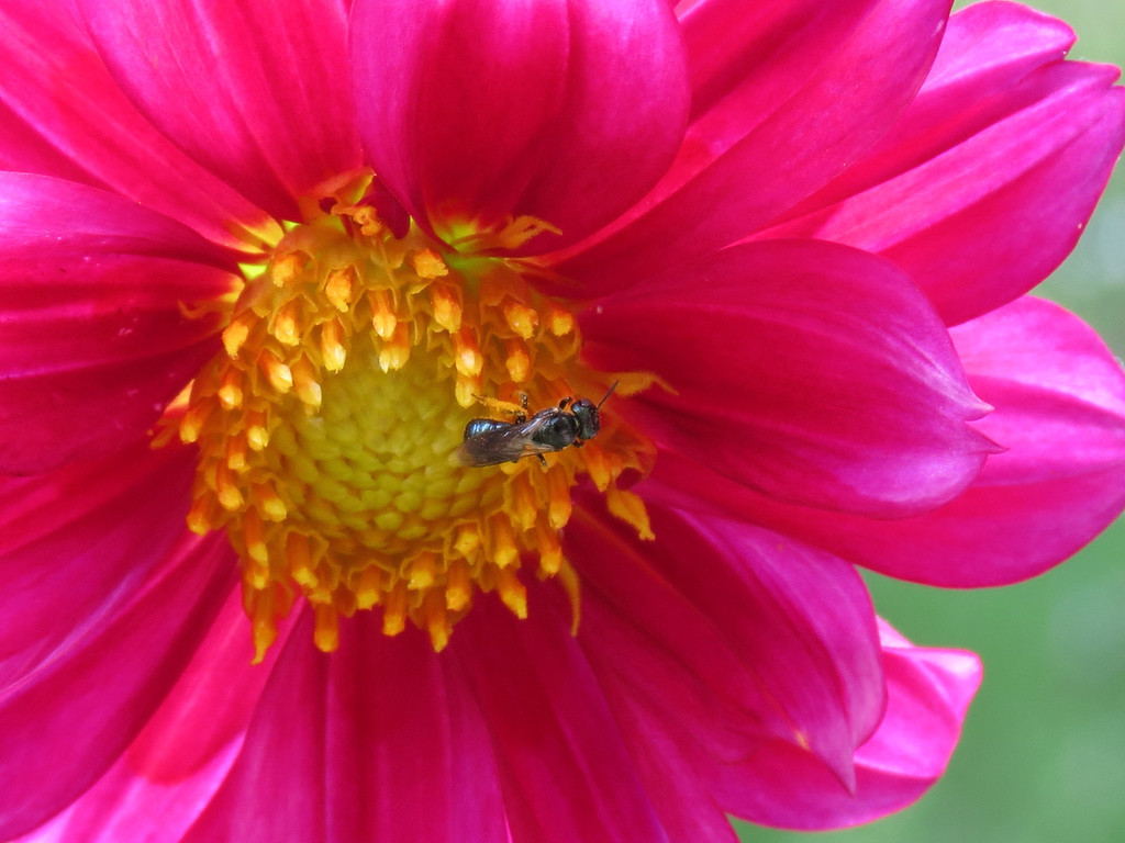A Small Bee on the Red Dahlia
