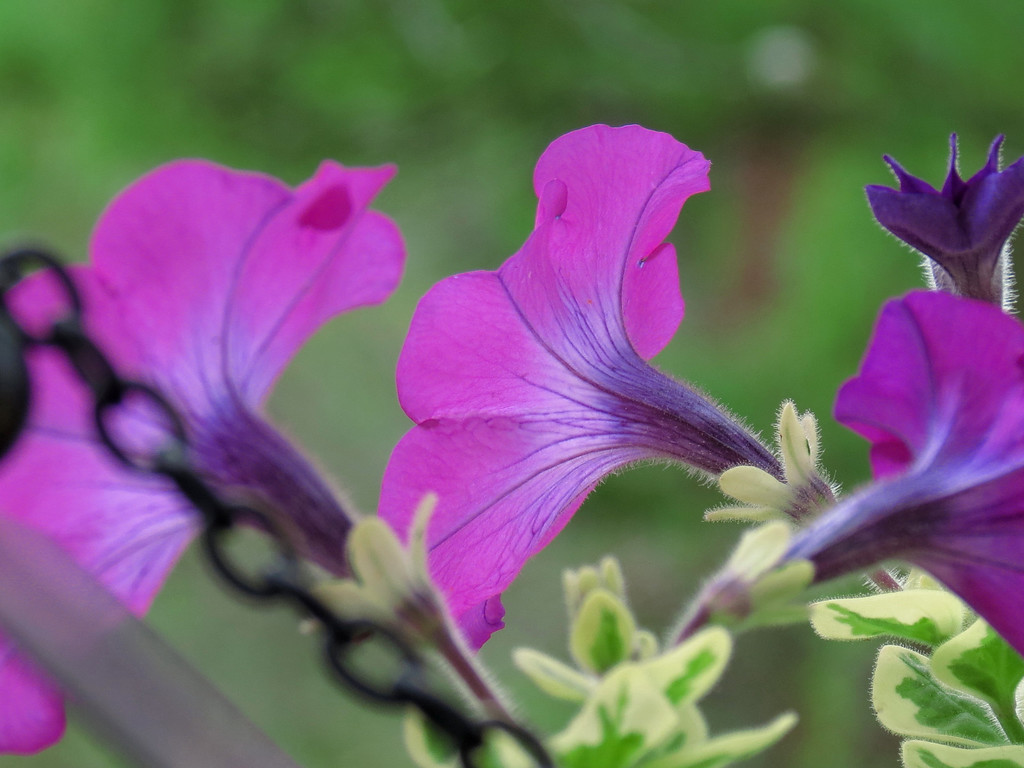 Some Petunias on May 10.