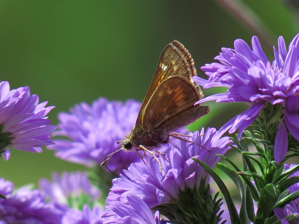 Butterfly on Blue Asters