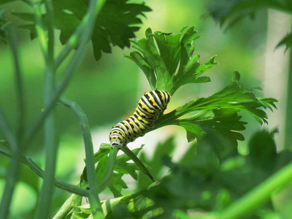 Black Swallowtail Butterfly Caterpillar on the Curly Parsley.