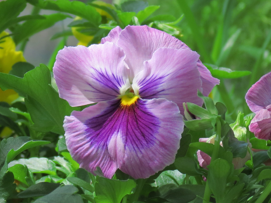 Blue and Pink Pansy
