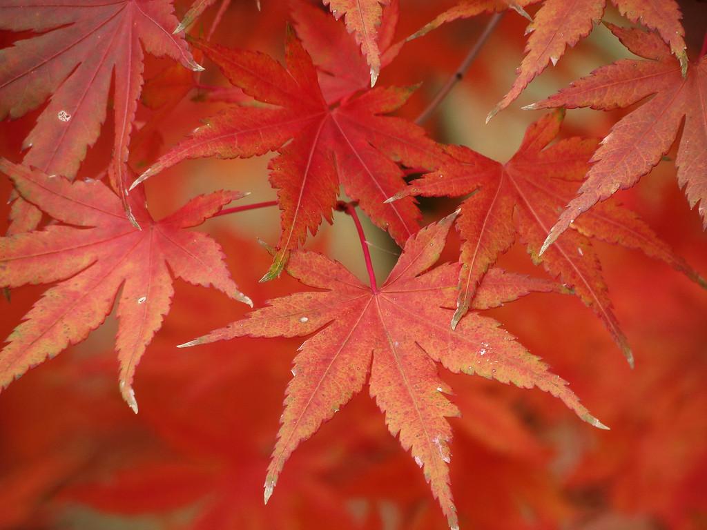 Orange Japanese Maple leaves on November 11.
