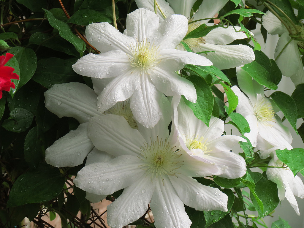 White Clematis after yet more rain today.