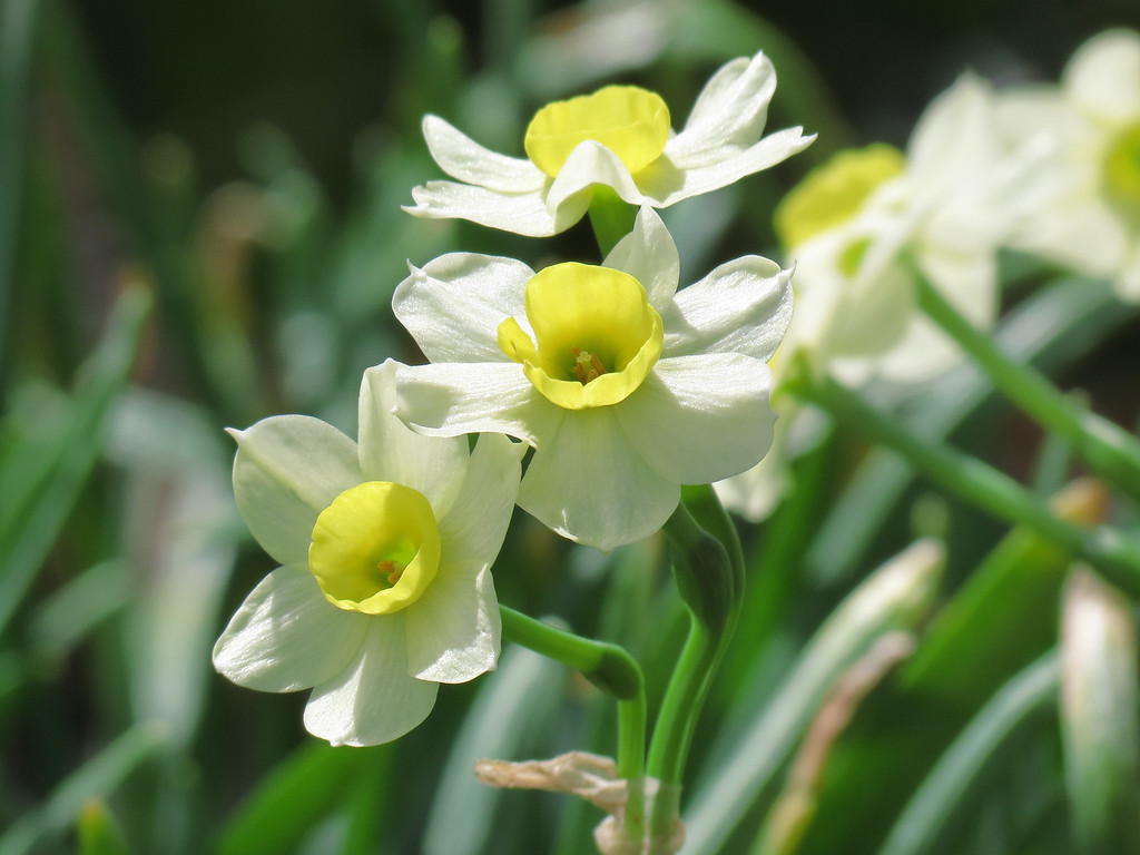 Daffodils come in threes.