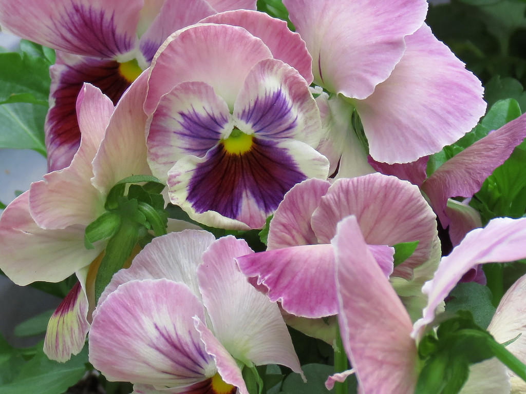 Pink and Purple Pansies survived the rain.