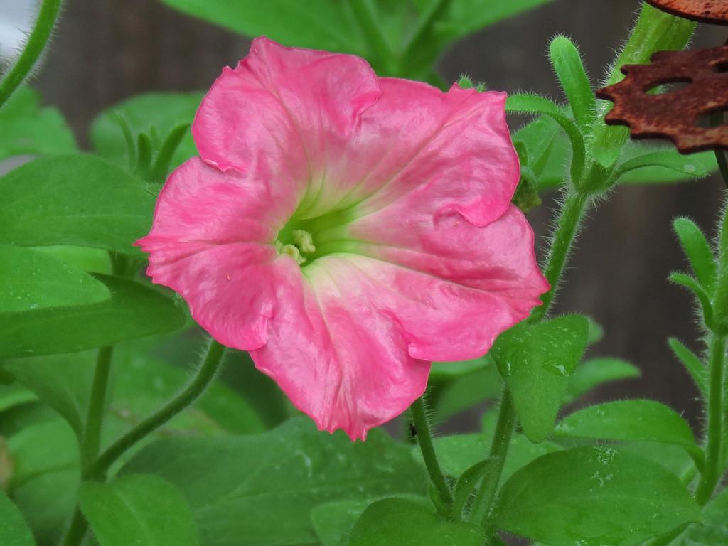 Pink Petunia after a rainy morning.