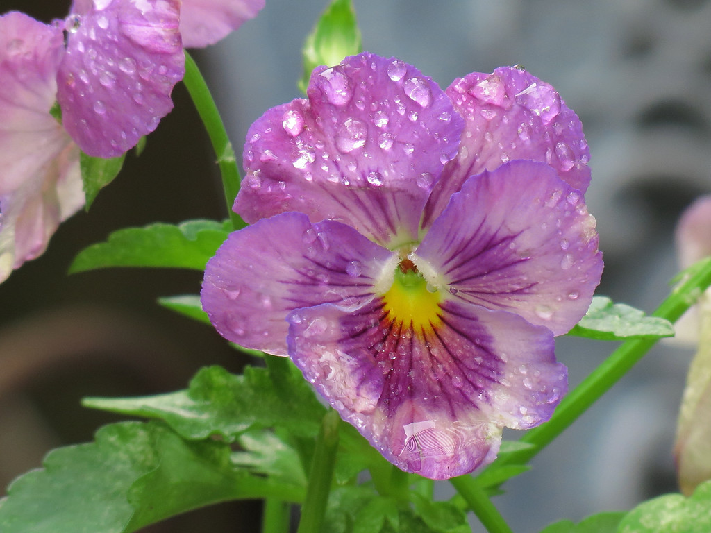 One of the remaining Pansies covered in rain drops.<br /> I really like the delicate blue edging along the petals -- it is very subtle.
