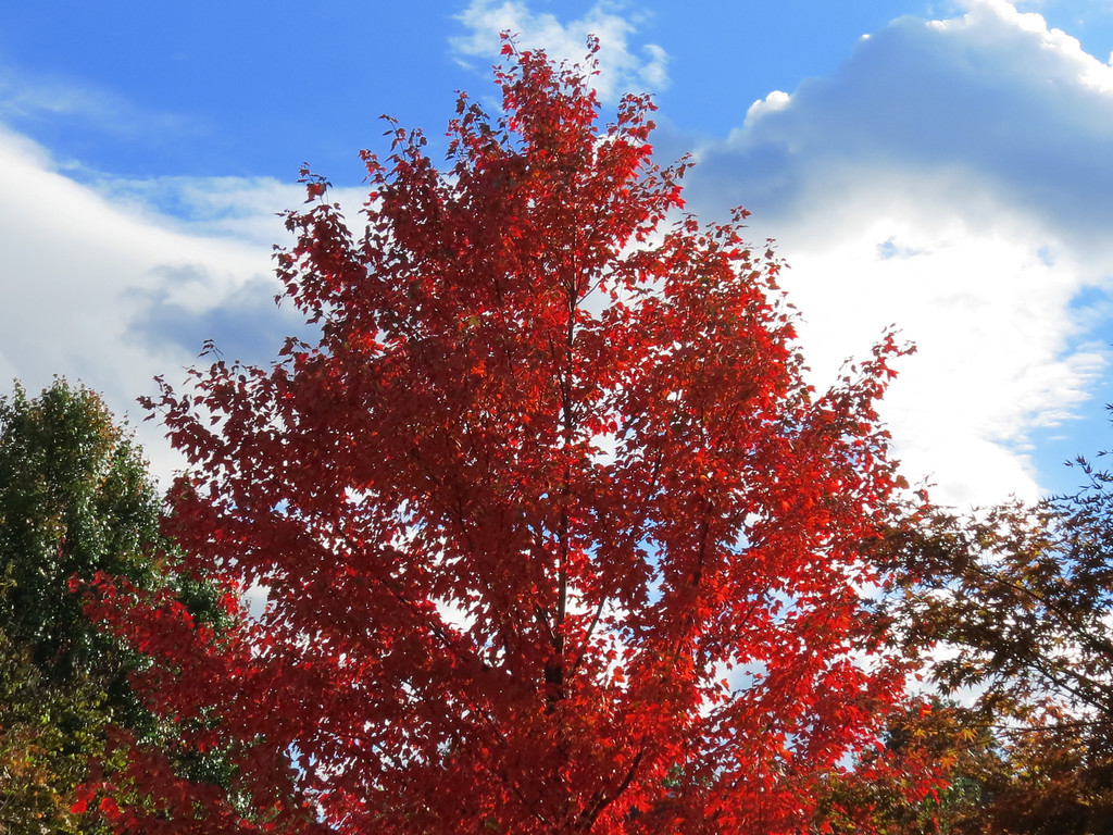 The Small Red Maple Tree.