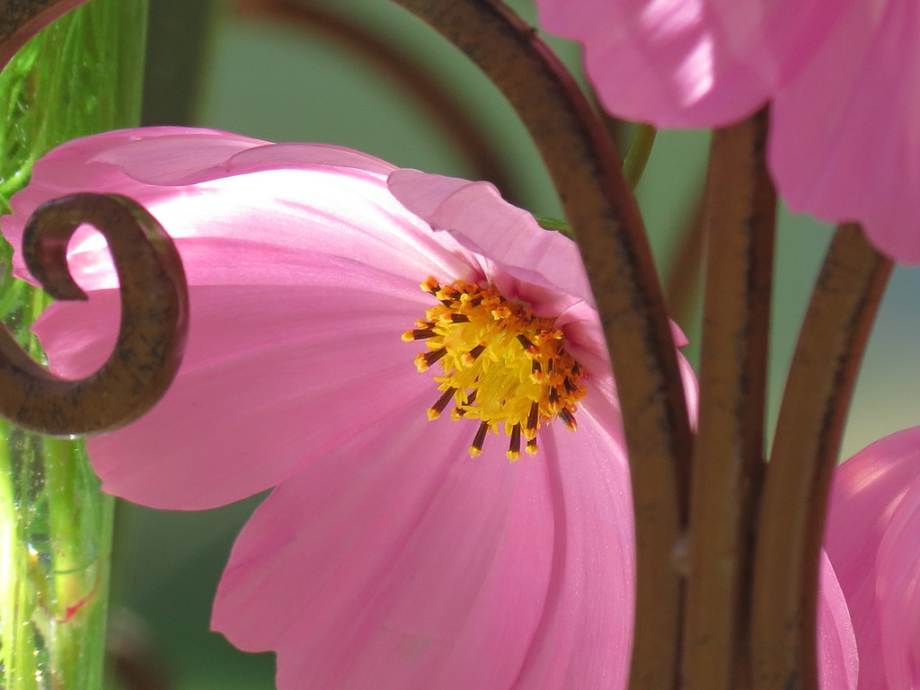 Pink Cosmos in a Vase on Becky's Flower Cart.