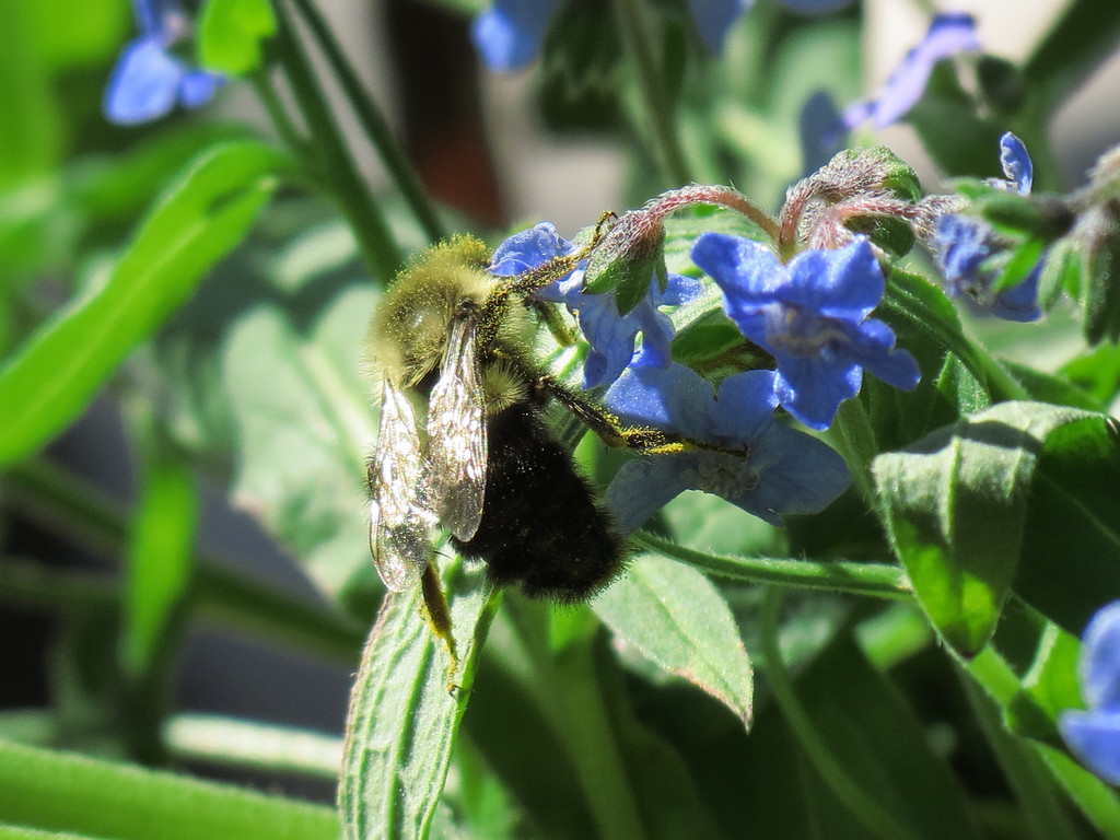 Bee and True-Blue Forget-Me-Nots