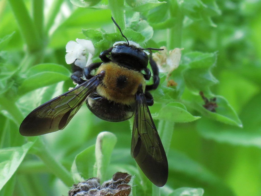 Giant Bee on Aromatic Basil Flowers;