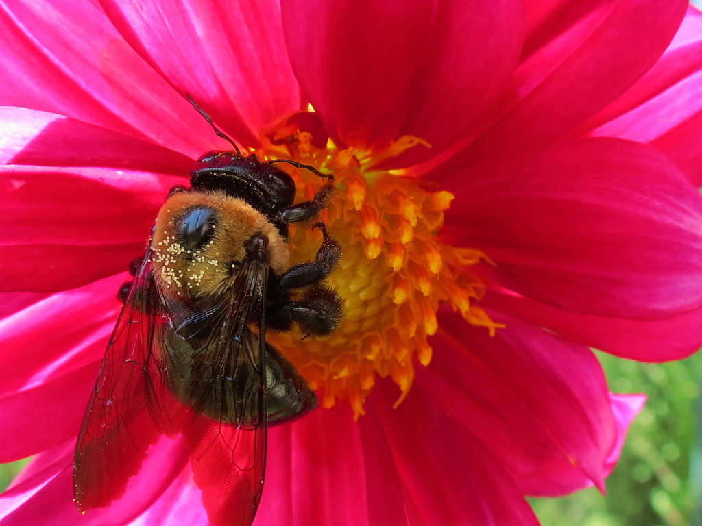 Bumble Bee on Red Dahlia Flower