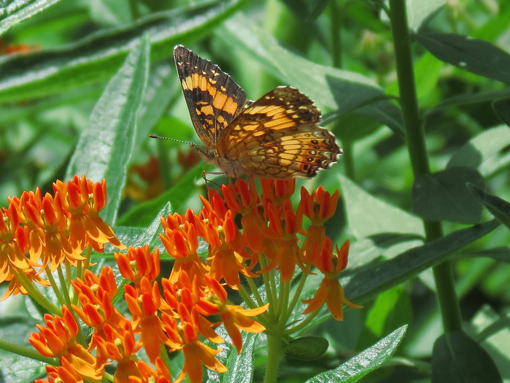 Butterfly on the Butterfly Weed.