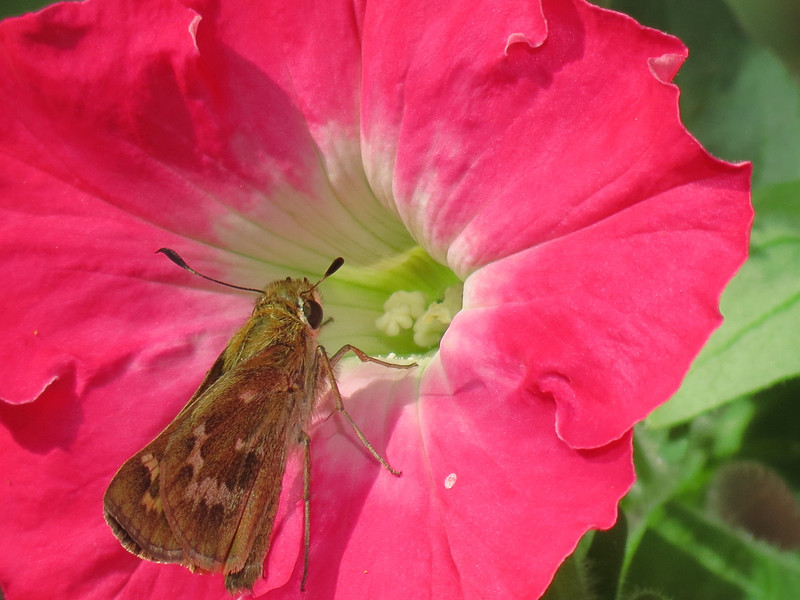 Butterfly and Very Pink Petunia in October.