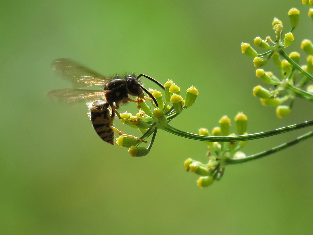 Wasp on Fennel Flowers in October