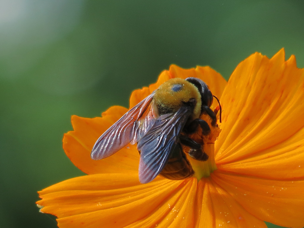Bee on Orange Cosmos.