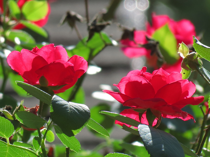 Red Roses on a Warm and Bright  October afternoon.