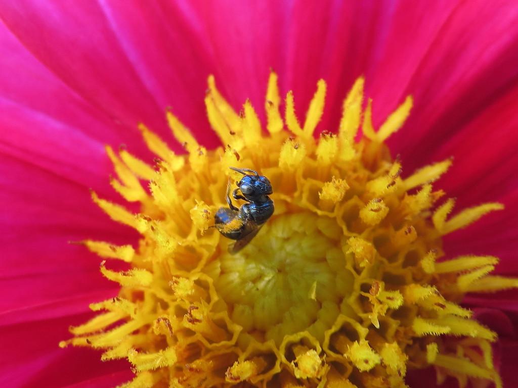 Metallic Bee in the Dahlia.