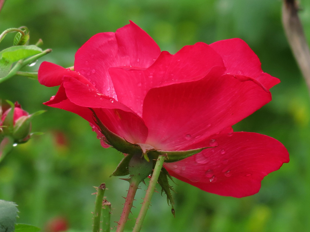 Red Knockout Rose with rain drops.
