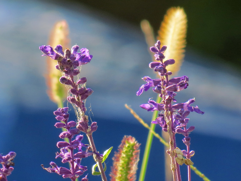 Blue Salvia on October 20th.
