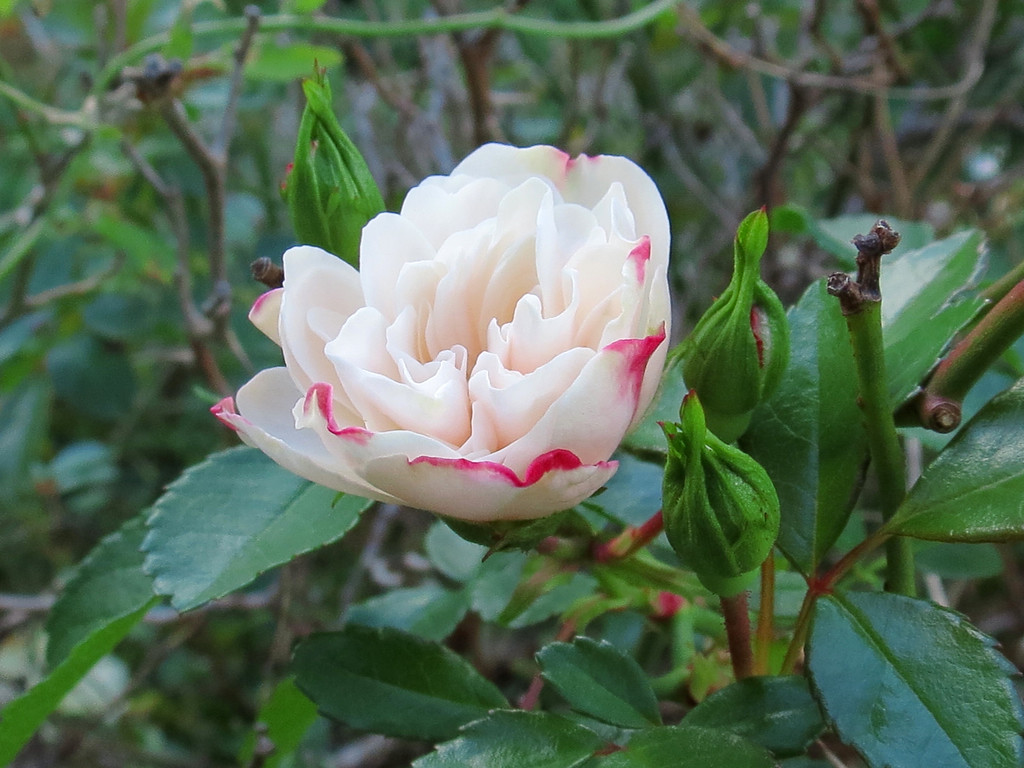 White Rose tinged with Red.