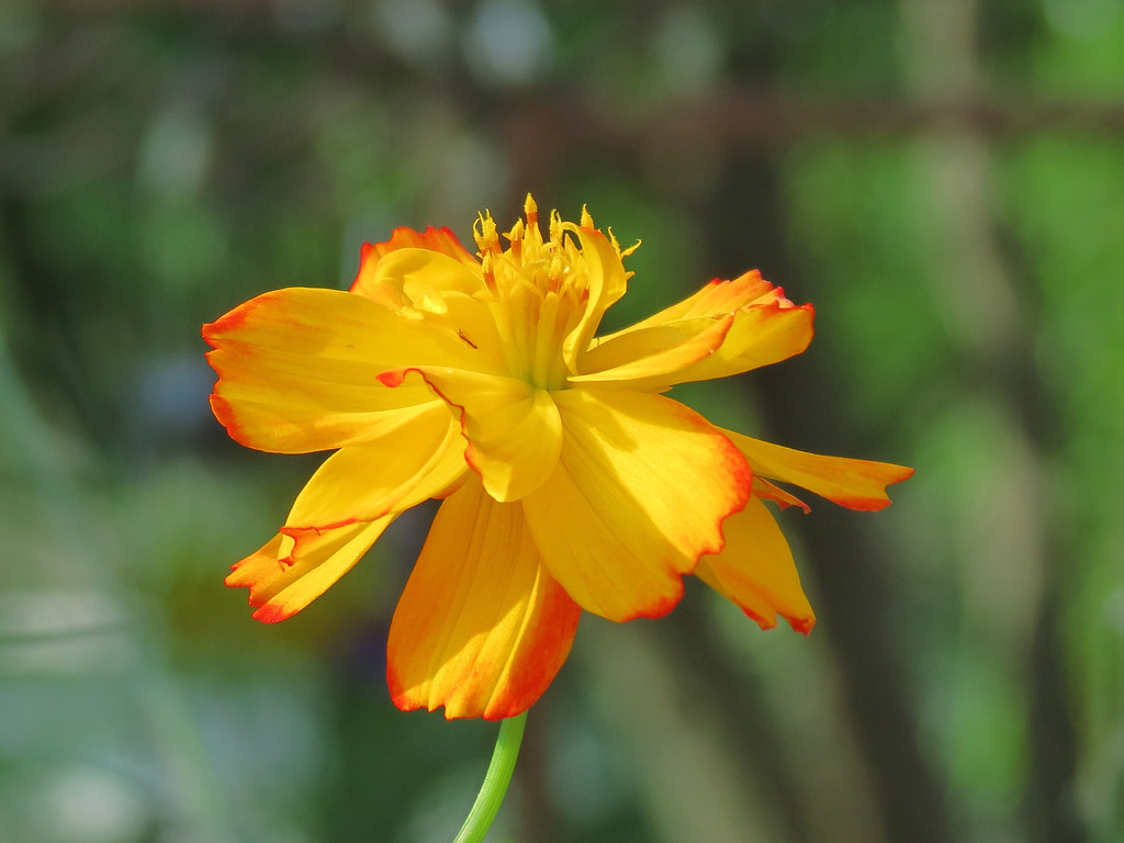 Yellow Cosmos.<br /> This is one of the flowers that I use finger paint to<br /> achieve the artistic effect of delicately outlining<br /> the petals in a bright orange color. I like the contrast.<br /> But... I have to get up at the Crack of Dawn to get them all painted.