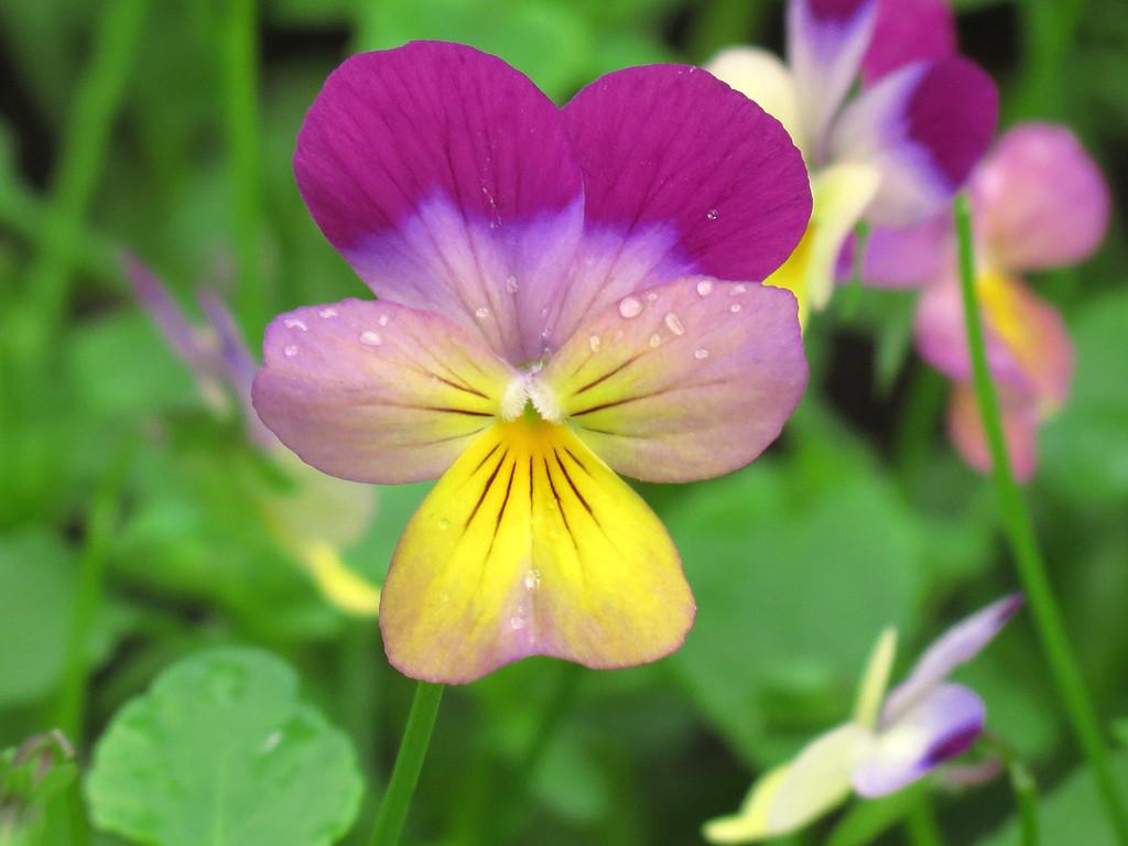 Viola with rain drops.