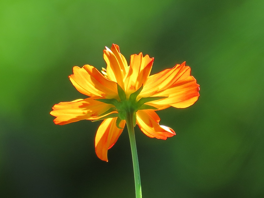 Orange Cosmos backlit by the Sun.