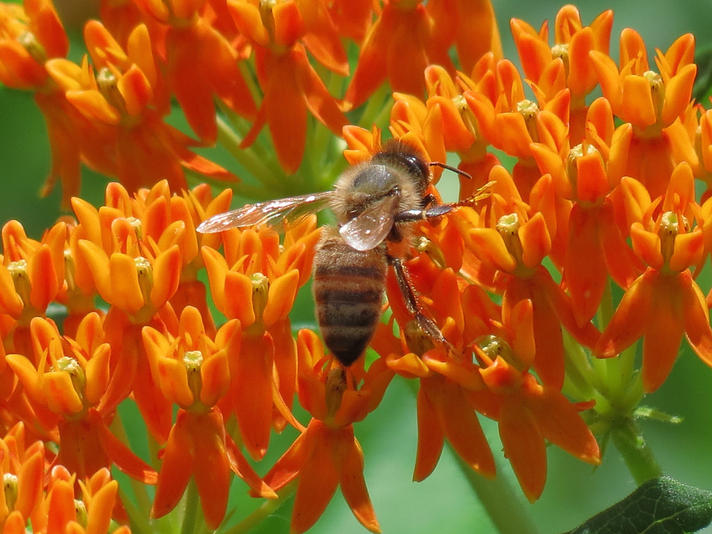 Honeybee and Asclepias