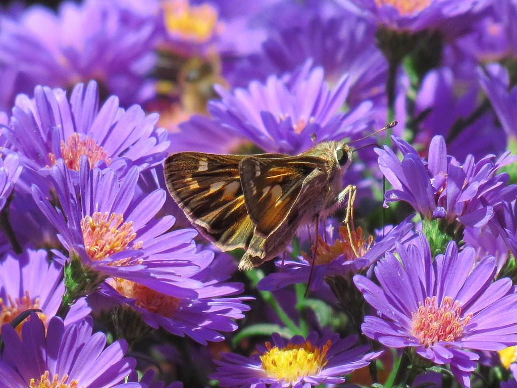 Butterfly and Asters
