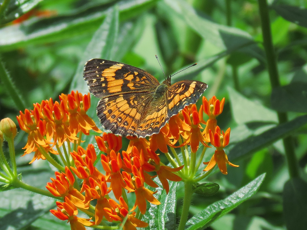 Butterfly on the Asclepias