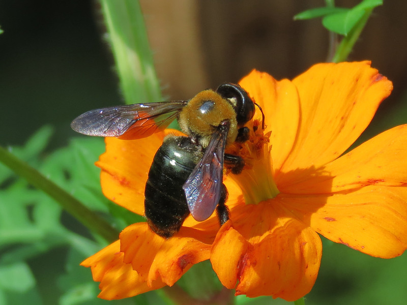 Giant Bee in Bright October Sunshine.
