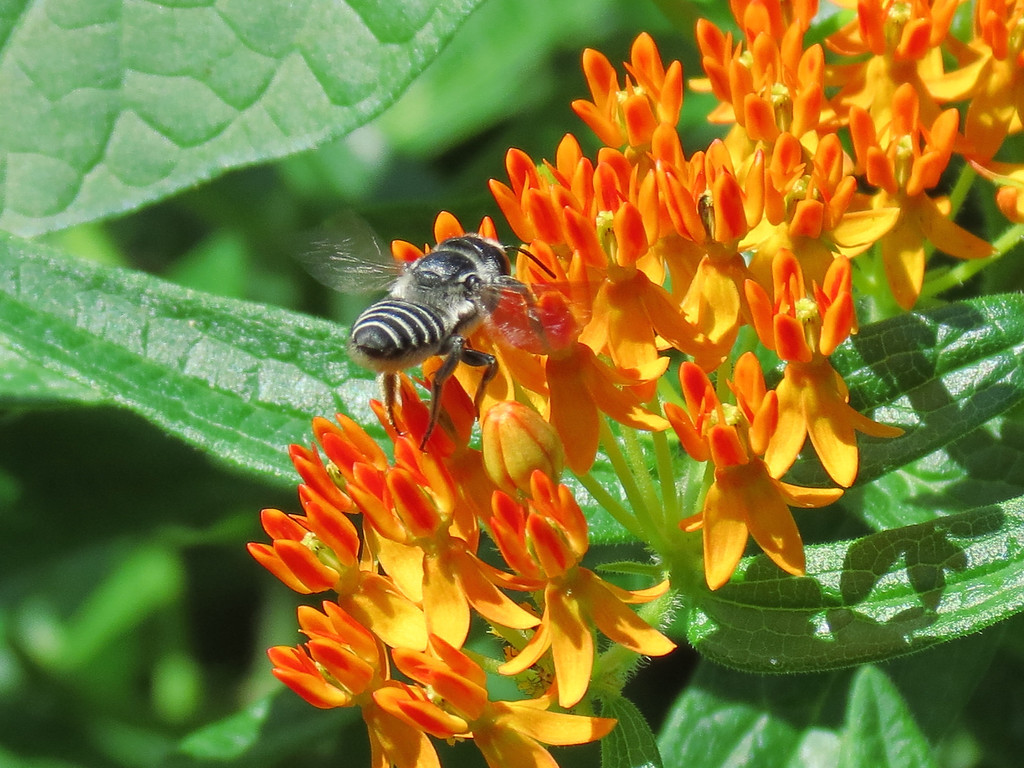 Bee on the Asclepias