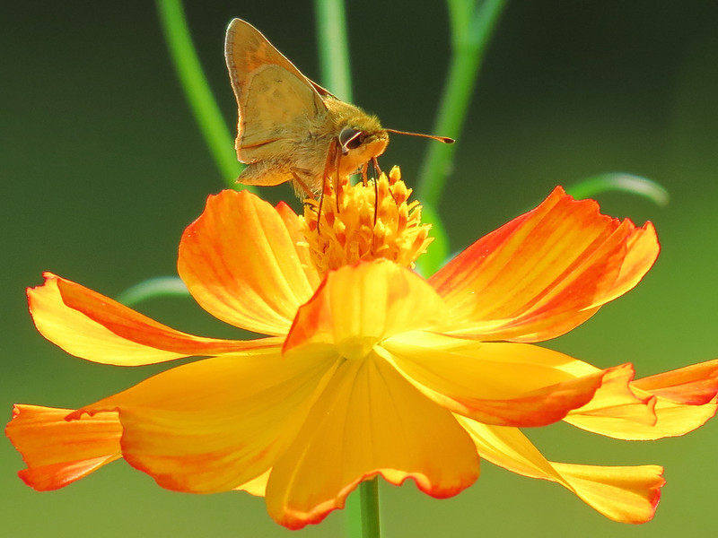 Skipper Butterfly on Yellow Cosmos on a hot day.